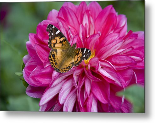 Painted Lady Metal Print featuring the photograph Painted Lady On Dahlia by Charles Harden