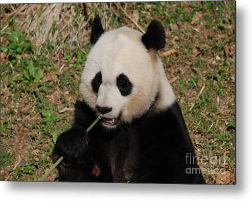 Panda Metal Print featuring the photograph Panda Bear Holding On To Bamboo While Eating by DejaVu Designs