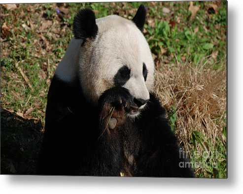 Panda Metal Print featuring the photograph Panda Bear Snacking On A Bamboo Shoot by DejaVu Designs