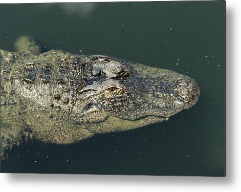 Alligator Metal Print featuring the photograph Patience by Frank Mari