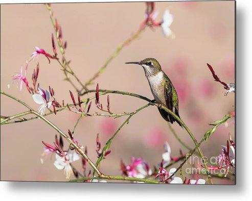 Bird Metal Print featuring the photograph Perching Ruby-throated Hummingbird by Russell Myrman