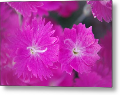 Flowers Metal Print featuring the photograph Pink Flower Closeup by Lisa Gabrius