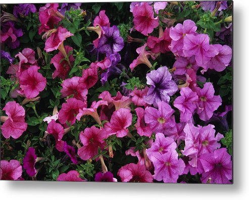 Chicago Metal Print featuring the photograph Pink Petunias by Stacy Gold