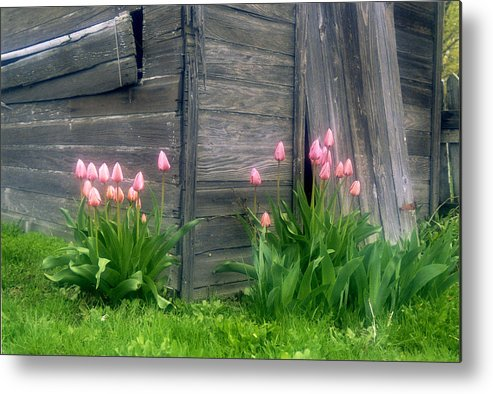 Garden Metal Print featuring the photograph Pink Tulips And Weathered Shed by Roger Soule