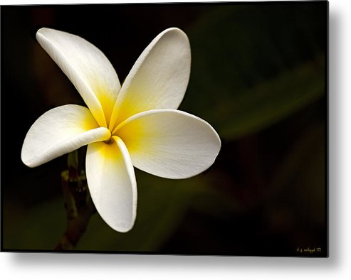 Flora Metal Print featuring the photograph Plumeria Perfection by Daniel G Walczyk