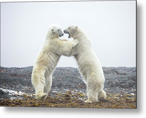 Polar Bear Metal Print featuring the digital art Polar Bear by Dorothy Binder