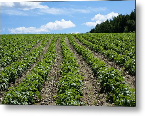 Field Metal Print featuring the photograph Potato Field by Lisa Hebert
