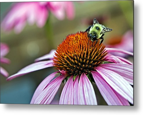 Macro Metal Print featuring the photograph Purple Cone Flower And Bee by Al Mueller