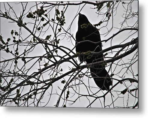 Metal Print featuring the photograph Raven by Judy Pearson