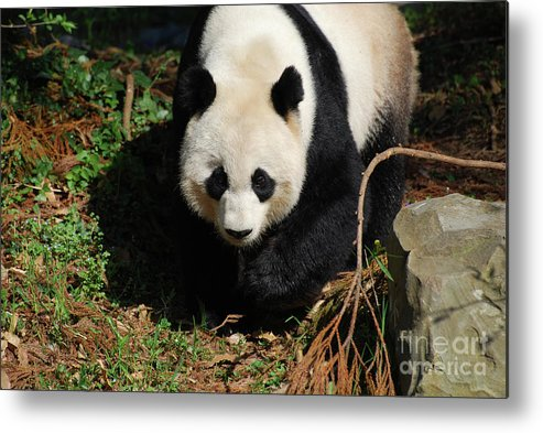 Panda Metal Print featuring the photograph Really Sweet Giant Panda Bear Waddling Around by DejaVu Designs