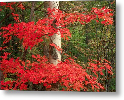 Fall Metal Print featuring the photograph Red Maple by Raju Alagawadi