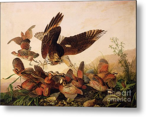 Red-shouldered Hawk Attacking Bobwhite Partridges Metal Print featuring the painting Red Shouldered Hawk Attacking Bobwhite Partridge by John James Audubon
