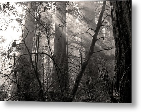 Redwoods Metal Print featuring the photograph Redwood Mystery by Betty LaRue