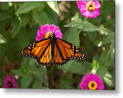 Butterfly Metal Print featuring the painting Resting by Debbie May