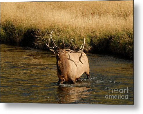 Elk Metal Print featuring the photograph River Crossing by Greg Payne