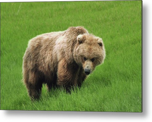 Grizzly Metal Print featuring the photograph She Is No Lonesome Dove by Dennis Blum