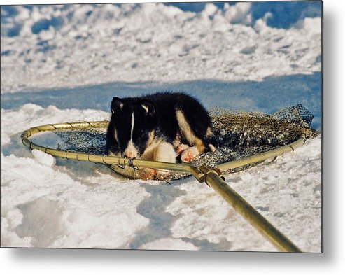 Alaska Metal Print featuring the photograph Sleeping Puppy by Juergen Weiss