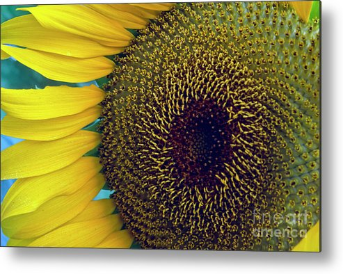 Helianthus Annuus Metal Print featuring the photograph Sunflower-2 by Steven Foster
