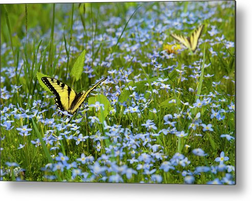 Swallowtail Butterfly Metal Print featuring the photograph Swallowtail Butterfly by Robert Stein