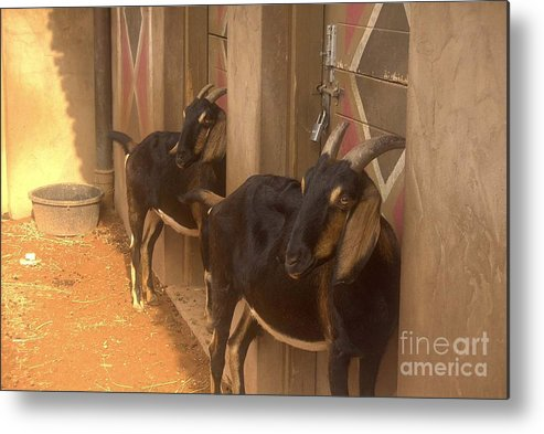 Goats Metal Print featuring the photograph Synchronized Goat Standing Team Usa by Joyce Goldin