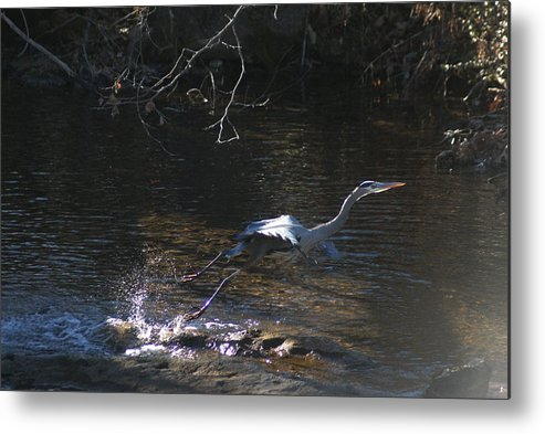 Birds Metal Print featuring the photograph Take Off by Rick Friedle