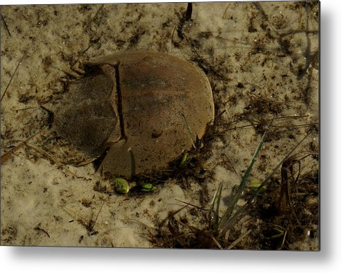 Crab Metal Print featuring the painting The Resting Grounds by Debbie May