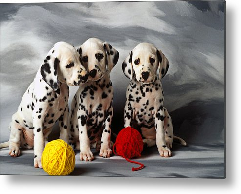 Dalmatian Puppies Three Puppy Dalmatians Pet Pets Animal Animals Dog Dogs Doggy Sit Sits Sitting Young Pedigree Canine Domestic Domesticated Purebred Purebreed Breed Gray Background Vertical Color Colour Colors Canines Calm Cute Hound Hounds Innocence Spot Spots Companionship Together Togetherness Metal Print featuring the photograph Three Dalmatian Puppies by Garry Gay