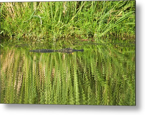 Savannah National Wildlife Refuge Metal Print featuring the photograph Time For Some Sun by Anthony Knapp