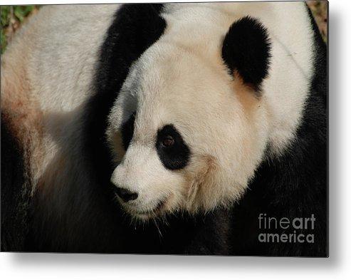 Panda Metal Print featuring the photograph Up Close With A Gorgeous Giant Panda Bear by DejaVu Designs