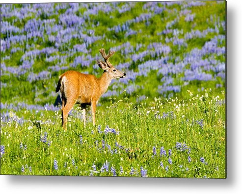 Deer Metal Print featuring the photograph Velvet On Lupine by Mike Dawson