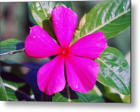 Ashland Metal Print featuring the photograph Vinca by Erik Berglund