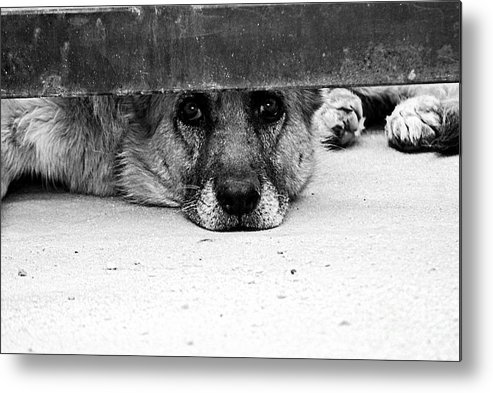 Dog Metal Print featuring the photograph Waiting And Watching by Solomon Aseoche