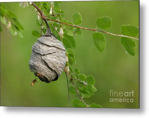 Wasp Metal Print featuring the photograph Wasp by Dennis Hammer