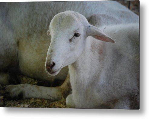 Sheep Metal Print featuring the photograph White Wool by Lakida Mcnair