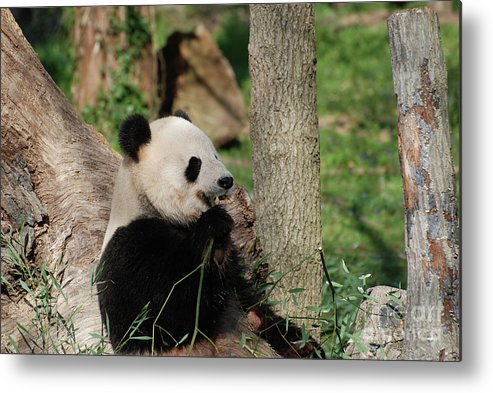 Panda Metal Print featuring the photograph Wild Giant Panda Bear Eating Bamboo Shoots by DejaVu Designs