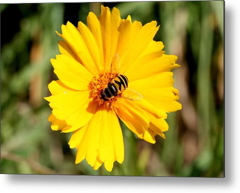 Bee Metal Print featuring the photograph Yellow On Yellow by Jason Hochman
