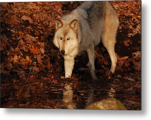 Wolf Metal Print featuring the photograph You Want A Piece Of Me by Lori Tambakis