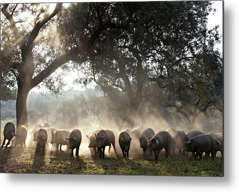 Dawn Metal Print featuring the photograph Pure Iberian Pigs Feed On Grasslands At by Diego Lezama