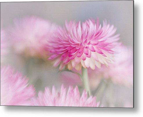 Bloom Metal Print featuring the photograph Cotton Candy by David and Carol Kelly