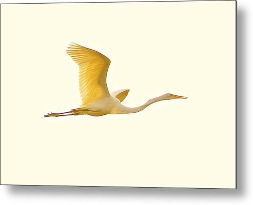 Metal Print featuring the photograph Egret In Flight by John Kearns