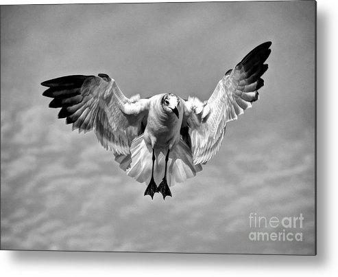 Flight Metal Print featuring the photograph Seagull by Savannah Gibbs