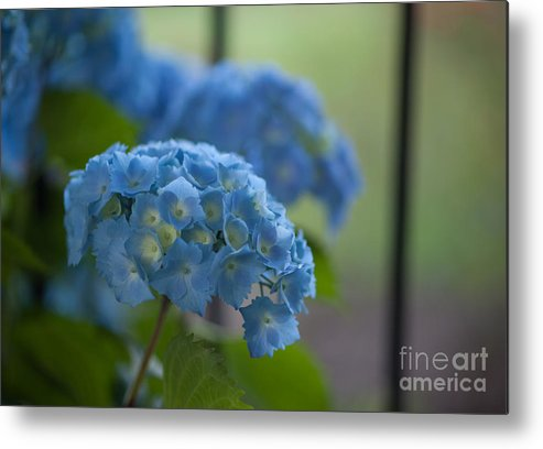 Hydrangea Metal Print featuring the photograph Soft Blue Hydrangea by Mike Reid