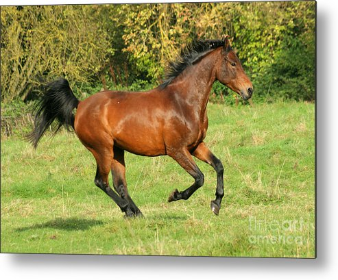 Horse Metal Print featuring the photograph Gallop by Angel Ciesniarska