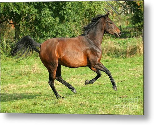 Horse Metal Print featuring the photograph Running Free by Angel Ciesniarska