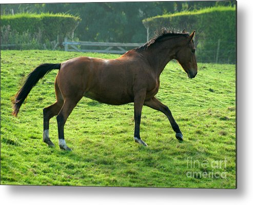 Horse Metal Print featuring the photograph Bay Horse by Angel Ciesniarska