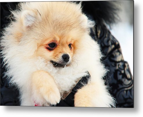 Dog Metal Print featuring the photograph A Little Cutie II by Jenny Rainbow