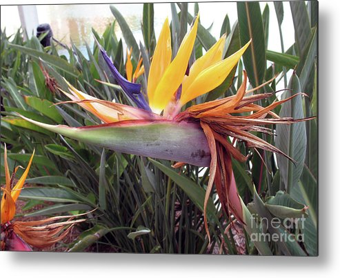 Bird Of Paradise Metal Print featuring the photograph Beautiful Bird Of Paradise by Christiane Schulze Art And Photography