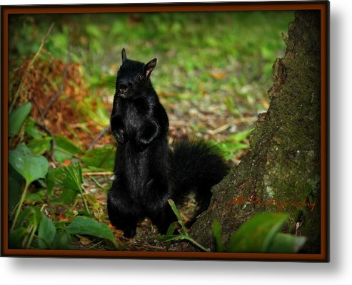Nature Metal Print featuring the photograph Black Squirrel by Michaela Preston
