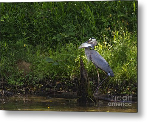 Bird Metal Print featuring the photograph Blue Heron With A Fish-signed by J L Woody Wooden