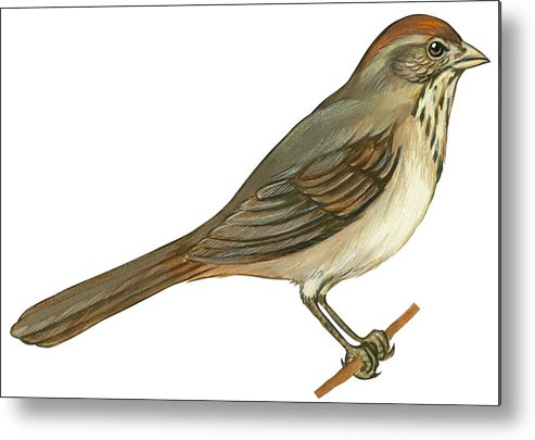 No People; Horizontal; Side View; Full Length; White Background; One Animal; Wildlife; Close Up; Illustration And Painting; Zoology; Bird; Branch; Wing; Feather; Perching; Beak; Tail; Brown; Brown Towhee; Pipilo Fuscus Metal Print featuring the drawing Brown Towhee by Anonymous